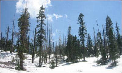 snowforest_s